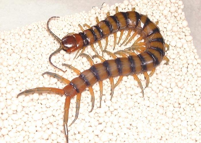 蜈蚣与其他动物的相片
