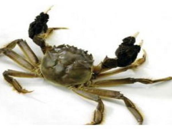 田园生态螃蟹