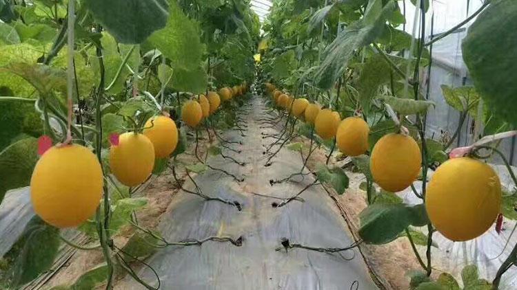 科博8号金香蜜瓜