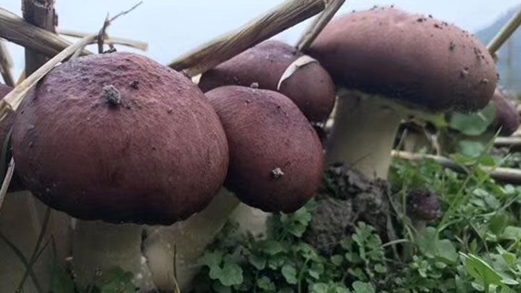赤松茸种植