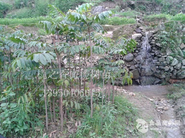榄之香橄榄树苗生食药用品种