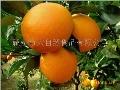 大自然脐橙