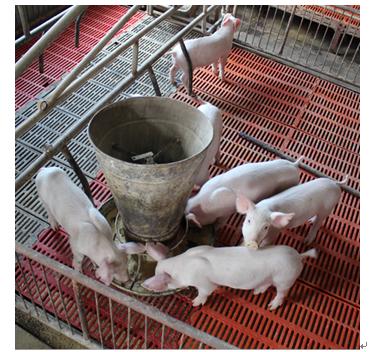 酒立方酿造设备产品-酒糟养猪