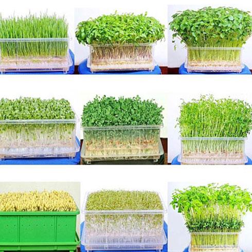 爱心农场芽苗菜产品-有机蔬菜