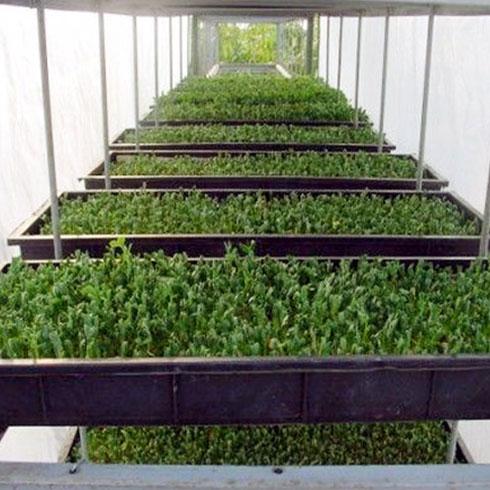 爱心农场芽苗菜产品-无公害芽苗菜