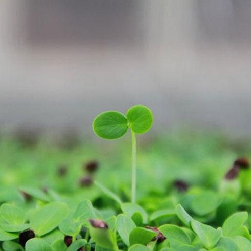 爱心农场芽苗菜产品-绿色芽菜