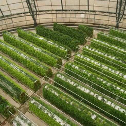 爱心农场芽苗菜产品-荞麦芽苗菜