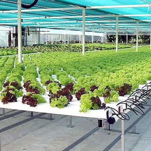 爱心农场芽苗菜产品-苜蓿芽苗菜