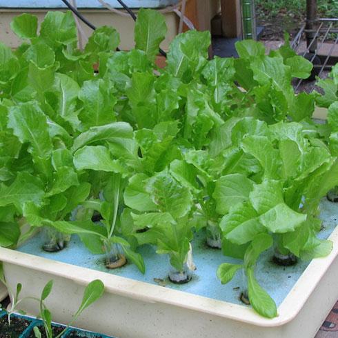 爱心农场芽苗菜产品-莴笋苗芽菜