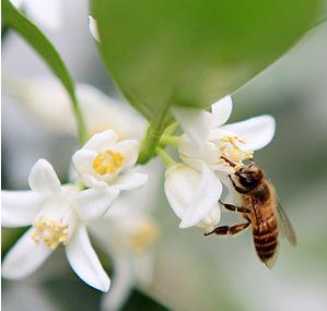 农户直销纯天然桔子蜂蜜 野生土蜂蜜 孕妇金桔蜂蜜 美容蜂蜜