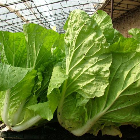 中农共信有机瓜菜工厂-白菜