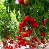 中农共信有机瓜菜工厂-番茄