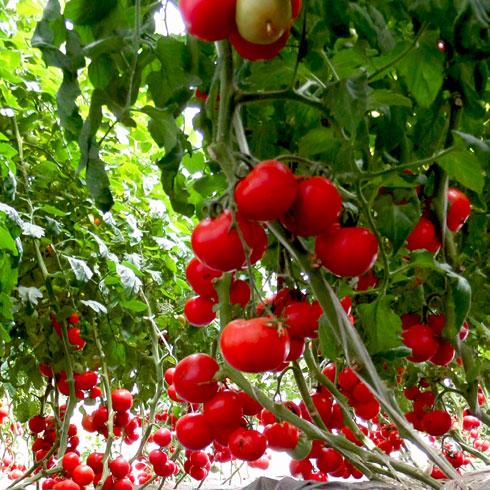 无土栽培蔬菜种植