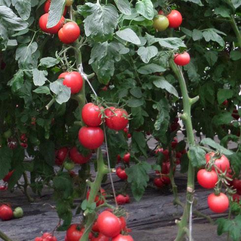 中农共信有机瓜菜工厂-西红柿