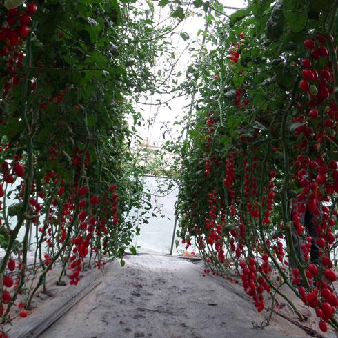 中农共信有机瓜菜工厂-无土栽培西红柿