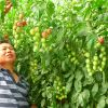 中农共信有机瓜菜工厂-圣女果