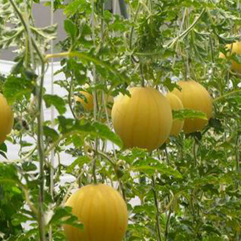 中农共信有机瓜菜工厂-丰收成果