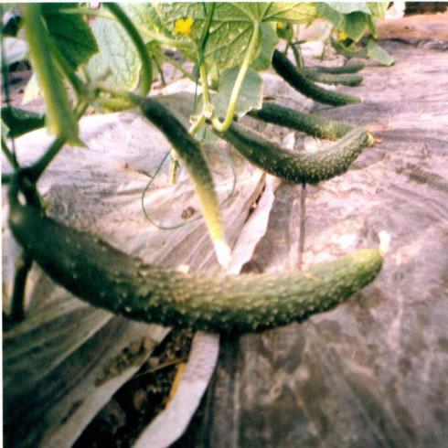 中农共信有机瓜菜工厂-黄瓜