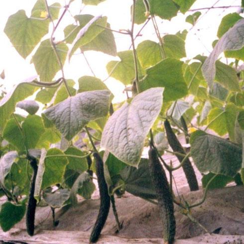 中农共信有机瓜菜工厂-无土栽培黄瓜