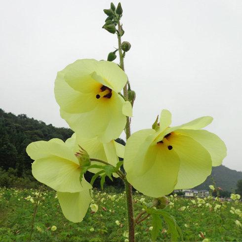 易金香金花葵