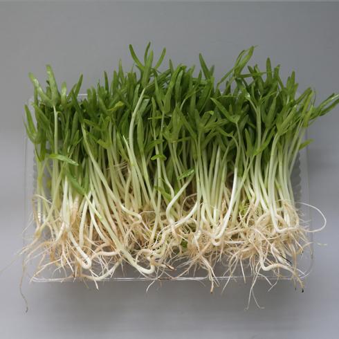 菜立方芽苗菜-空心菜苗