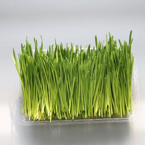 菜立方芽苗菜-小麦苗