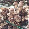 中盛永基食用菌-食用菌培育