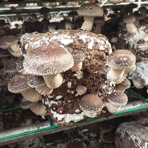 中盛永基食用菌-食用菌培育室