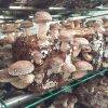 中盛永基食用菌-肥硕菌菇