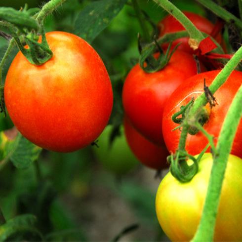 都市菜园--西红柿