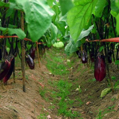 都市菜园--茄子